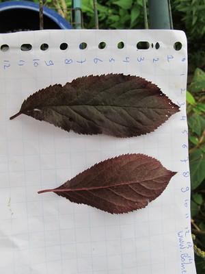 Leaf picture  Kerspruim ( Prunus cerasifera)