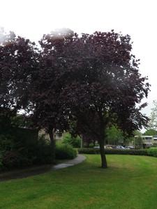 Tree picture  Kerspruim ( Prunus cerasifera)