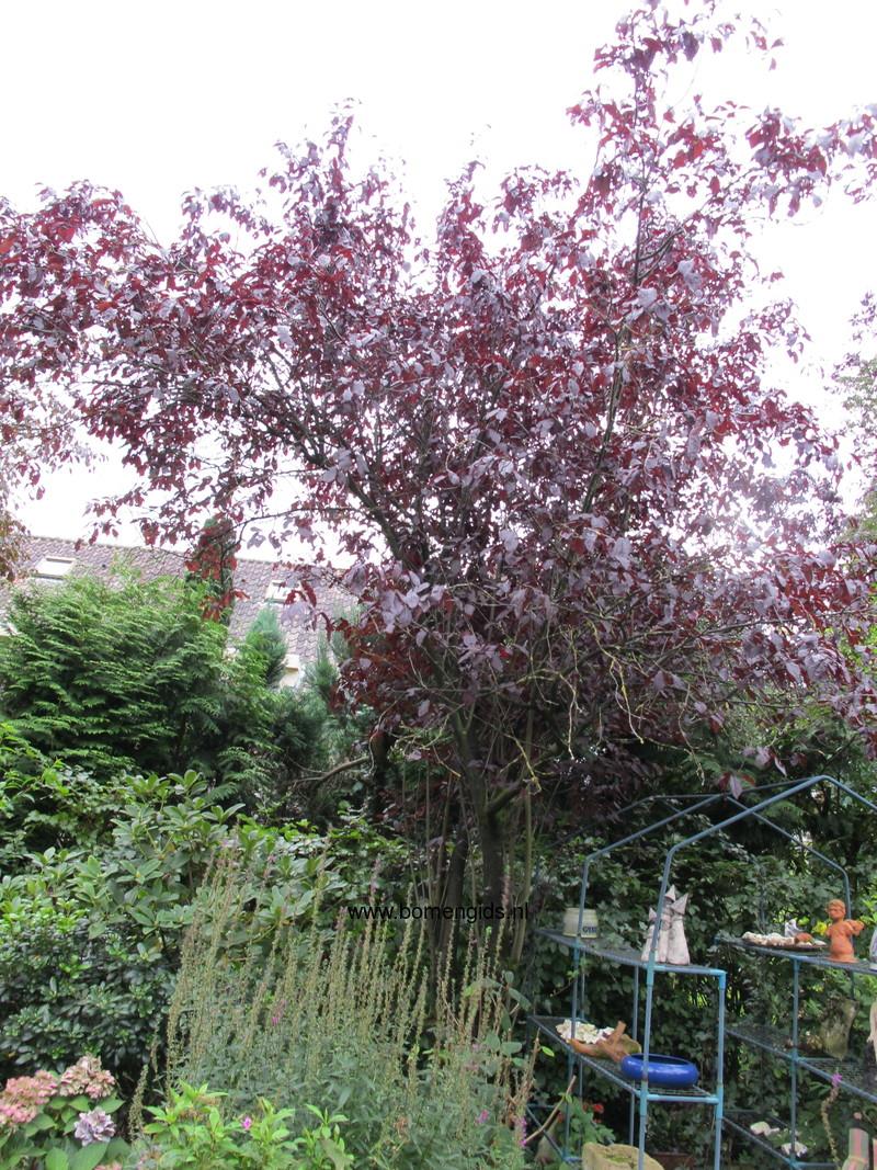 herken de boomsoort nl kerspruim latin prunus cerasifera uk cherry plum ge kirschpflaume. Black Bedroom Furniture Sets. Home Design Ideas