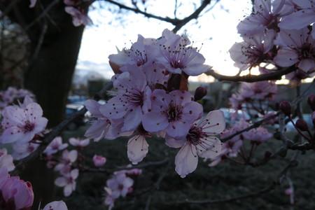 picture  Kerspruim |Prunus_cerasifera