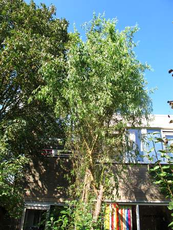 picture  Krulwilg_pekingwilg |Salix_babylonica_Tortuosa