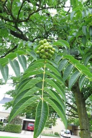 picture  Kurkboom |Phellodendron_amurense
