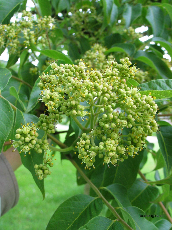 herken de boomsoort nl kurkboom latin phellodendron amurense uk amur corktree ge amur. Black Bedroom Furniture Sets. Home Design Ideas