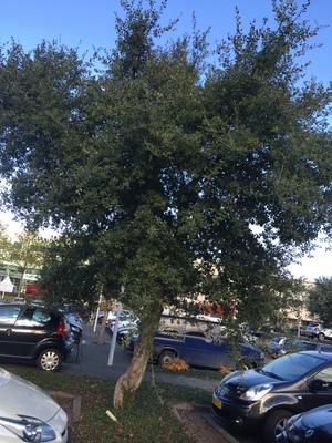 picture  Kurkeik  Quercus_suber