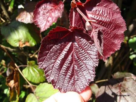 Leaf picture  Lambertusnoot ( Corylus maxima)