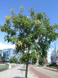 picture  Lantarentjesboom--Blazenboom |Koelreuteria_paniculata