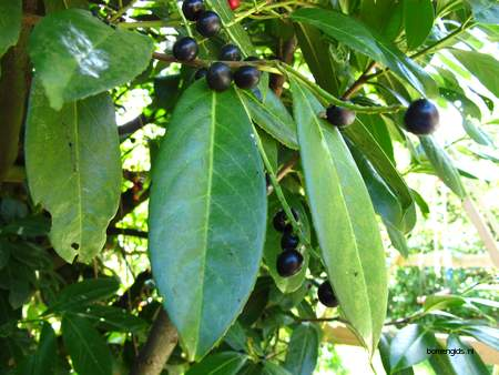 picture  Laurierkers |Prunus_laurocerasus