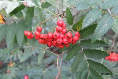 picture  Lijsterbes |Sorbus_aucuparia