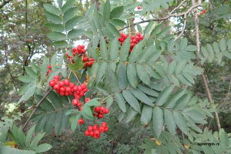 Leaf picture  Lijsterbes ( Sorbus aucuparia)