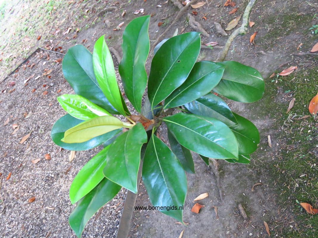 Herken de boomsoort nl magnolia grandiflora latin - Magnolia grandiflora ...