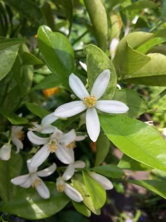 picture  Mandarijn |Citrus_reticulata