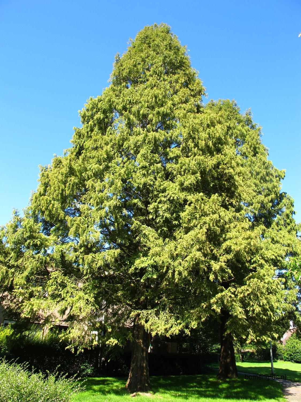 Boomsoorten die horen bij sequoias
