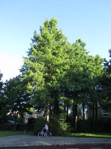 picture  Moeras_cypress  Taxodium_distichum