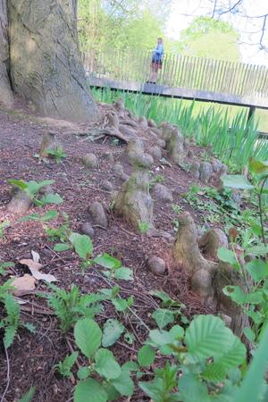 picture  Moeras_cypress |Taxodium_distichum