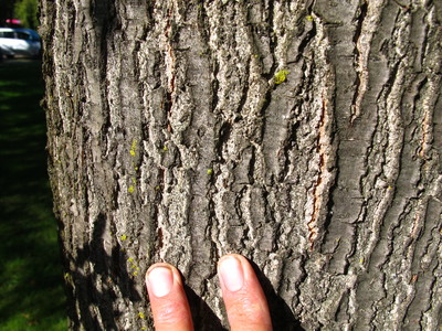 picture  Moeraseik |Quercus_palustris