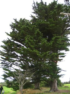 picture  Montereycipres |Cupressus_macrocarpa
