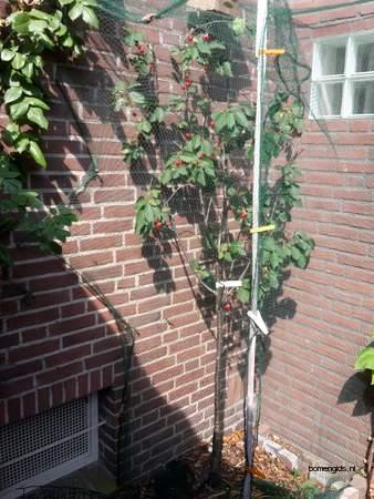 picture  Morel  Prunus_cerasus