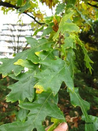 picture  Moseik--Turkse_eik |Quercus_cerris