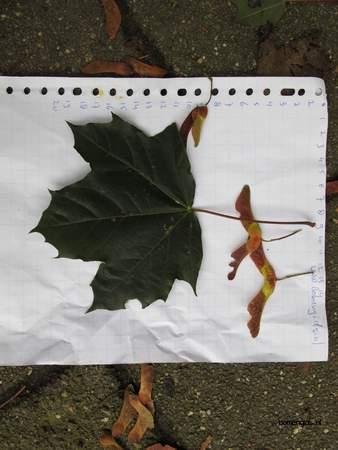 Leaf picture  Noorse esdoorn ( Acer platanoides)