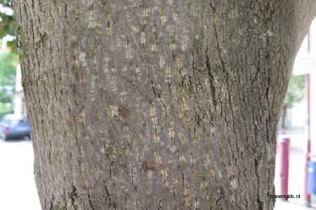 picture  Noorse_esdoorn |Acer_platanoides