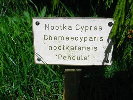 picture  Nootka_cypres |Chamaecyparis_nootkatensis