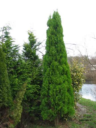 picture  Oosterse_levensboom |Thuja_orientalis
