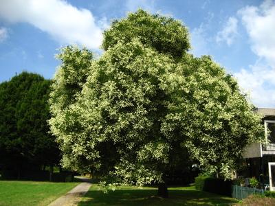 picture  Pagodeboom--Honingboom |Styphnolobium_japonicum