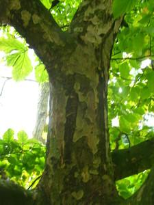 Bark picture  Perzisisch ijzerhout ( Parrotica persica)