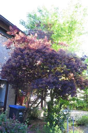 picture  Pruikenboom |Cotinus_coggygria