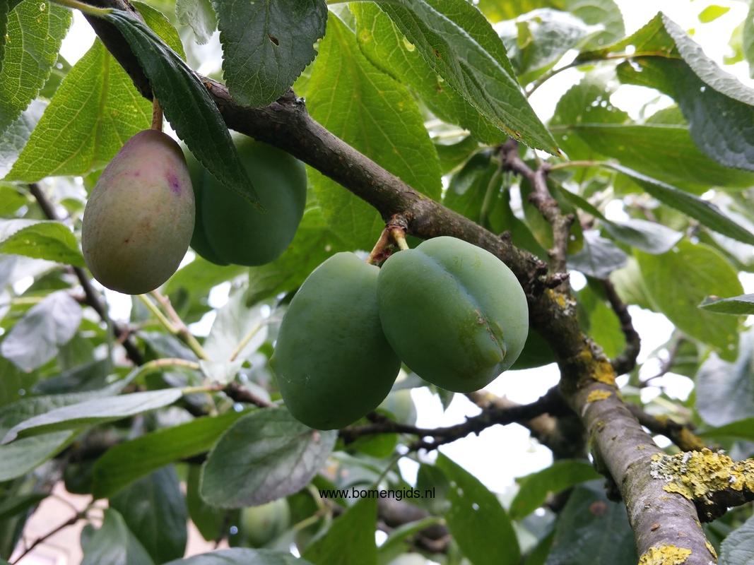 herken de boomsoort nl pruim latin prunus domestica uk plum ge zwetschge fr prunier cultive. Black Bedroom Furniture Sets. Home Design Ideas