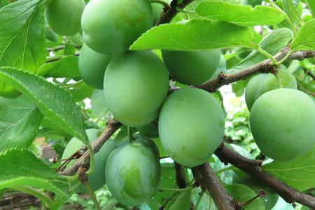 picture  Pruim |Prunus_domestica