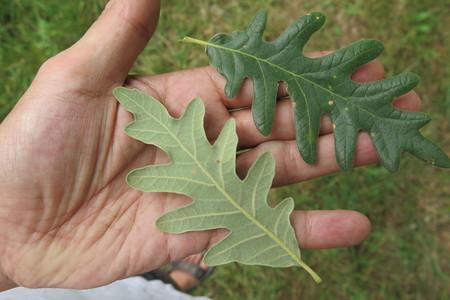 picture  Pyreneeneik  Quercus_pyrenaica