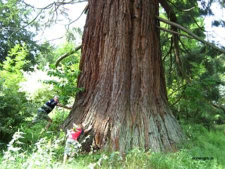 picture  Reuze_sequoia_Mammoetboom |Sequoiadendron_giganteum