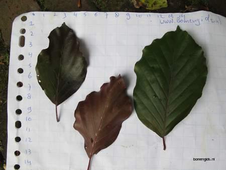 Leaf picture  Rode beuk ( Fagus sylvatica Atropurpurea)