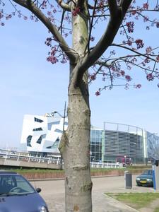 picture  Rode_esdoorn |Acer_rubrum