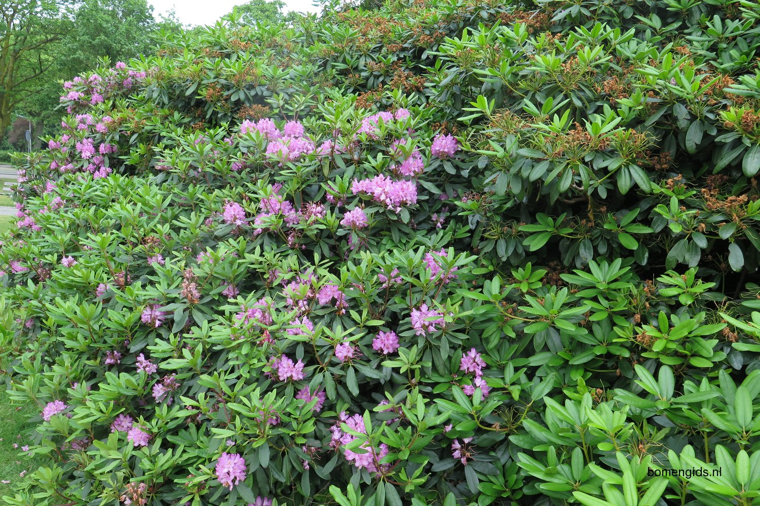rhododendron hispanic single men Azaleas are grown for their prolific spring blooms there are many variety and color options to choose from including shades of pink, red, purple, white, and orange.