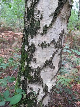 Bark picture  Ruwe berk ( Betula pendula)