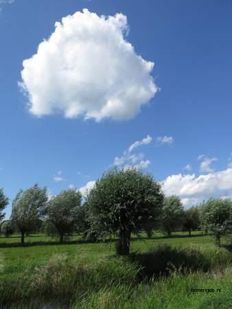picture  Schietwilg |Salix_alba