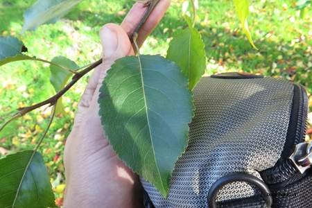 Leaf picture  Sierappel ( Malus baccata)