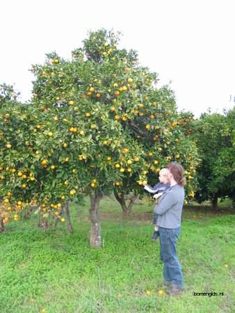 picture  Sinaasappel |Citrus_sinensis