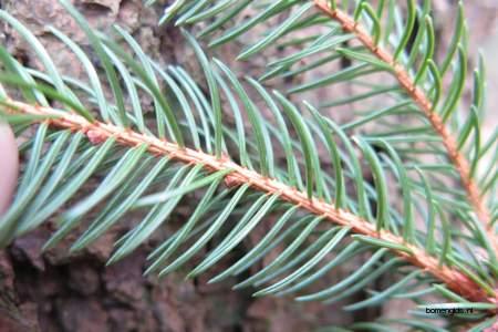 Leaf picture  Sitkaspar ( Picea sitchensis)