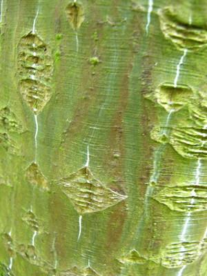 picture  Slangenhuidesdoorn |Acer_capillipes