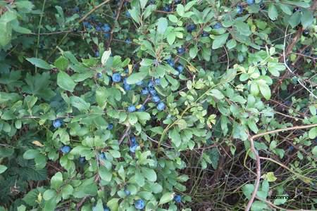 picture  Sleedoorn  Prunus_spinosa