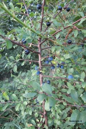 picture  Sleedoorn |Prunus_spinosa