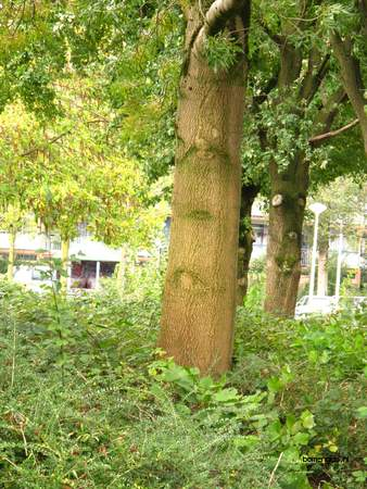 picture  Smalbladige_es |Fraxinus_angustifolia