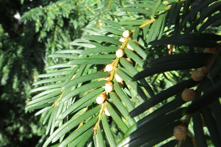 picture  Taxus |Taxus_baccata