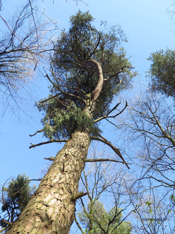 herken de boomsoort nl tranenden latin pinus wallichiana uk himalayan pine ge wallich. Black Bedroom Furniture Sets. Home Design Ideas
