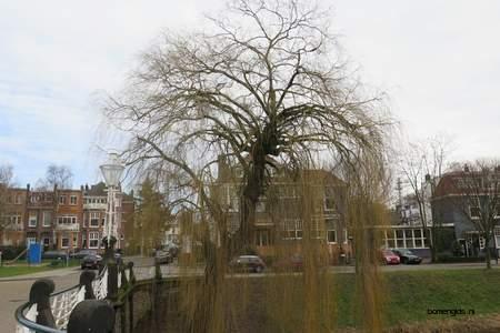 picture  Treurwilg |Salix_babylonica