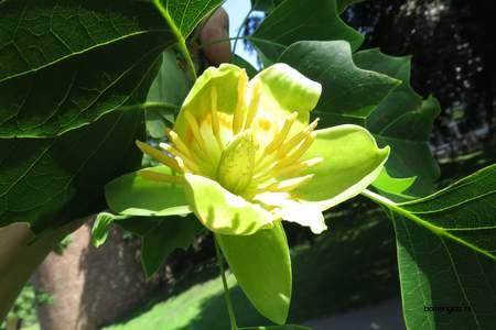 picture  Tulpenboom |Liriodendron_tulipifera