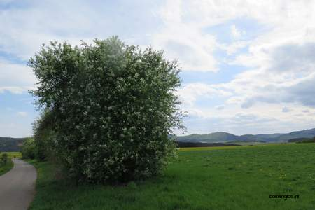 picture  Vogelkers |Prunus_Padus